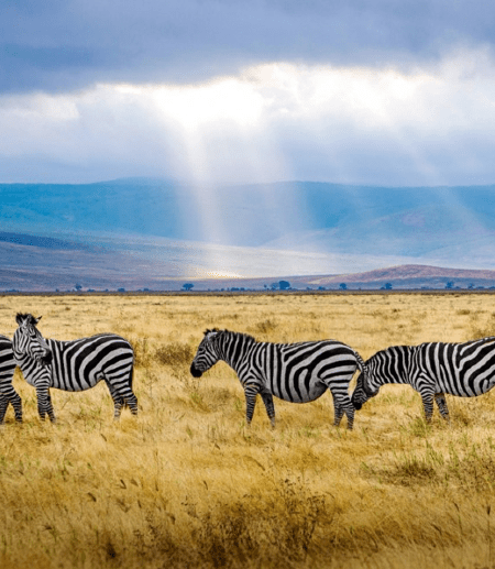 Zebras on the move.