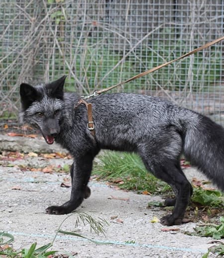 A silver fox bred for tameness at the the Institute for Cytology and Genetics in Novosibirsk, Russia.