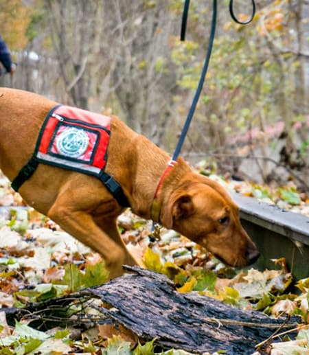 Dog wearing a vest, sniffing in leaves