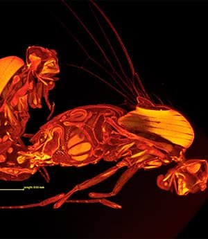 3-D scans of mating fruit flies