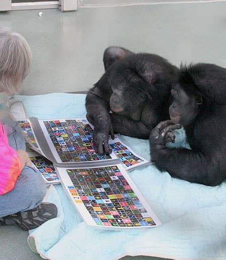 Bonobos Panbanisha and Kanzi lie on their stomachs while Kani presses a lexigram on an electronic panel