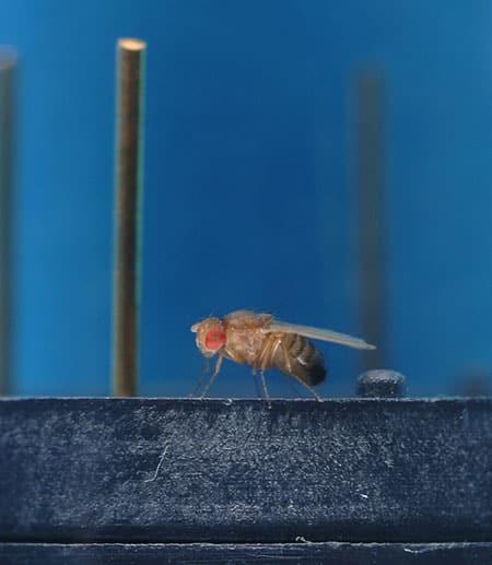 Fruit fly on sensor