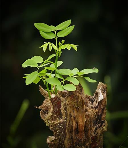 A sapling