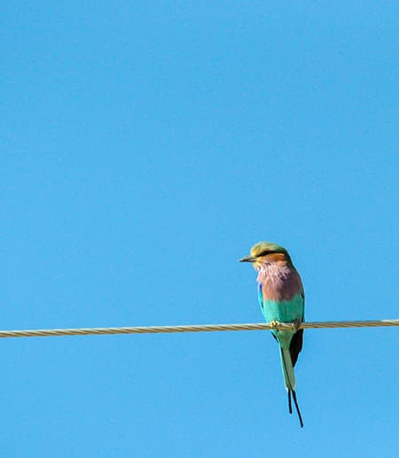 Pink and green bird on a wire, blue sky