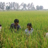 Four people standing chest-deep in a field of rice plants