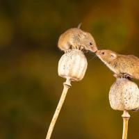 Two mice perched on flowers and facing each other