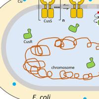Illustration of E. coli bacterium