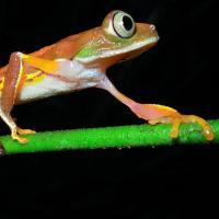 skinny orange frog with huge eyes