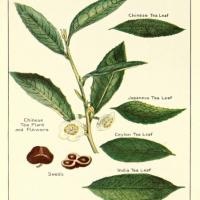 A botanical print of Camellia sinensis, which has been consumed in various forms for nearly 5,000 years.