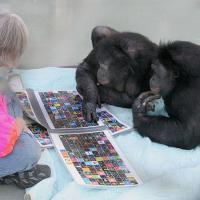 Bonobos Panbanisha and Kanzi lie on their stomachs while Kanzi presses a lexigram on an electronic panel