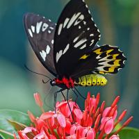 Black butterfly with white and yellow markings