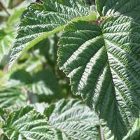 a raspberry leaf in sunshine
