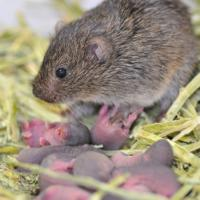 Vole with her offspring