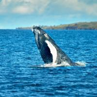 A humpback whale surfaces in Hawaii.
