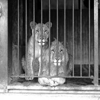 A male and female lion behind the bars of a zoo cage, looking out