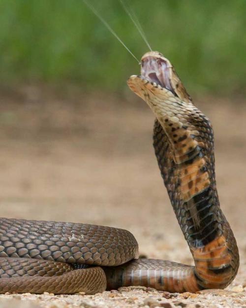 Coiled snake, spitting venom