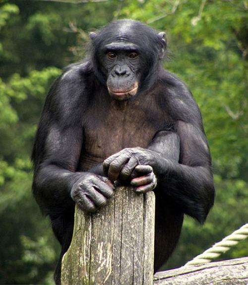 A bonobo sits on a pole