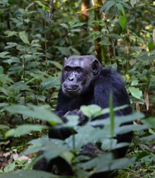 Bonobo amidst jungle leaves