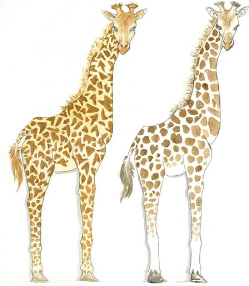 A sketch of two giraffes with different markings