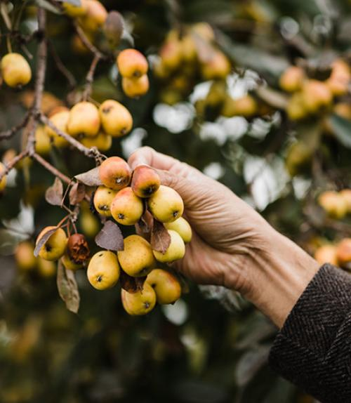 Yellow apples on a brand, hand reaching out