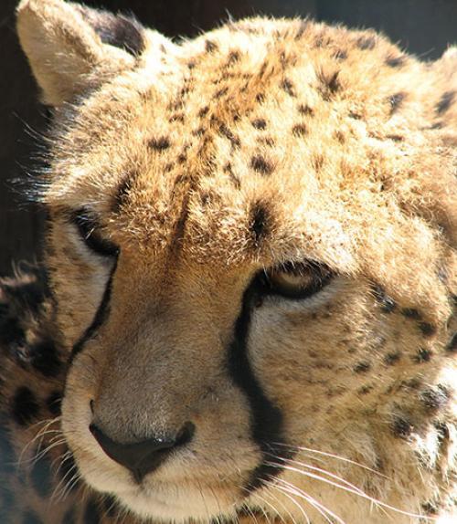 Face of a cheetah