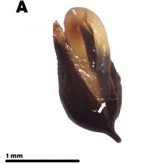 A germinated seed