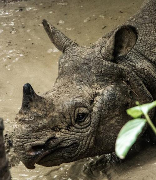 A male Javan rhinoceros is pictured at Ujung Kulon National Park in Indonesia.