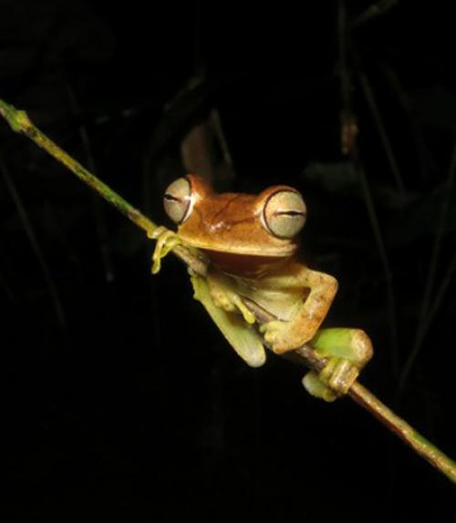 A tree frog in the Boana fasciata species group from the western Amazon of Brazil