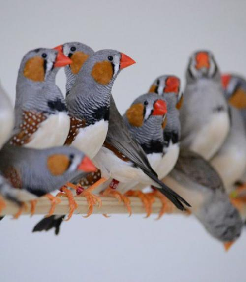 A group of zebra finches