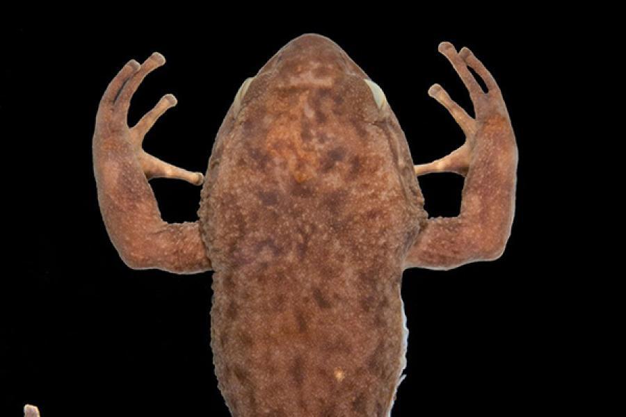 Frog specimen, preserved for a museum