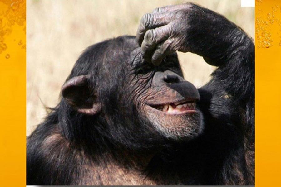 Chimpanzee making a gesture, hand held to its head and smiling