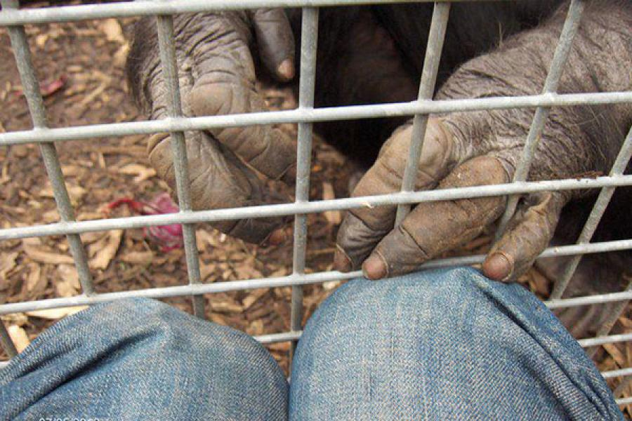 A chimpanzee reaches its fingers through the bars of its cage to touch the knees of a person outside